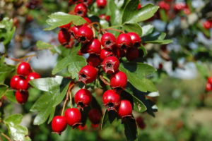 Hawthorn; Good for the heart