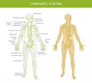 "The lymphatic ""waste removing"" system of the body"