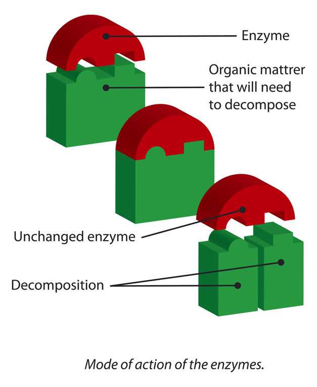 enzyme action diagram
